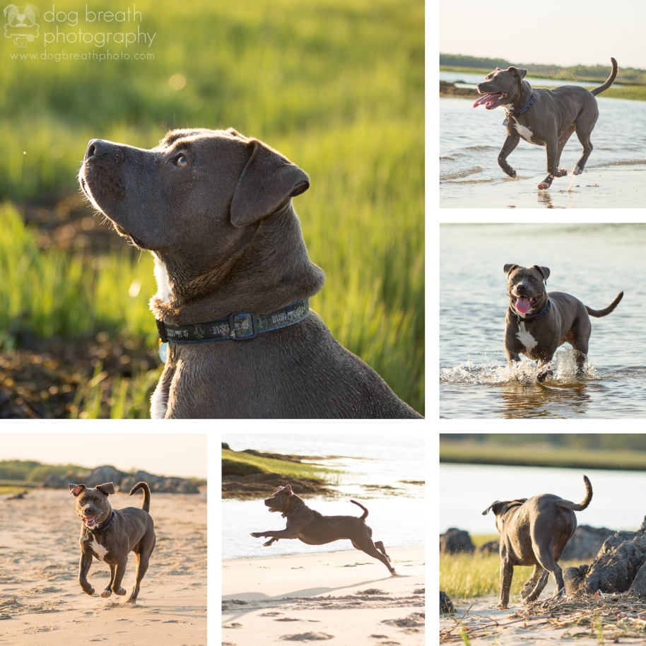 boston-dog-photography