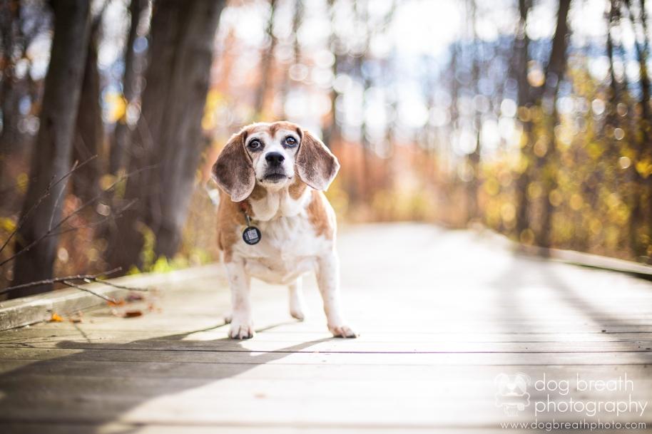 boston-dog-photographer