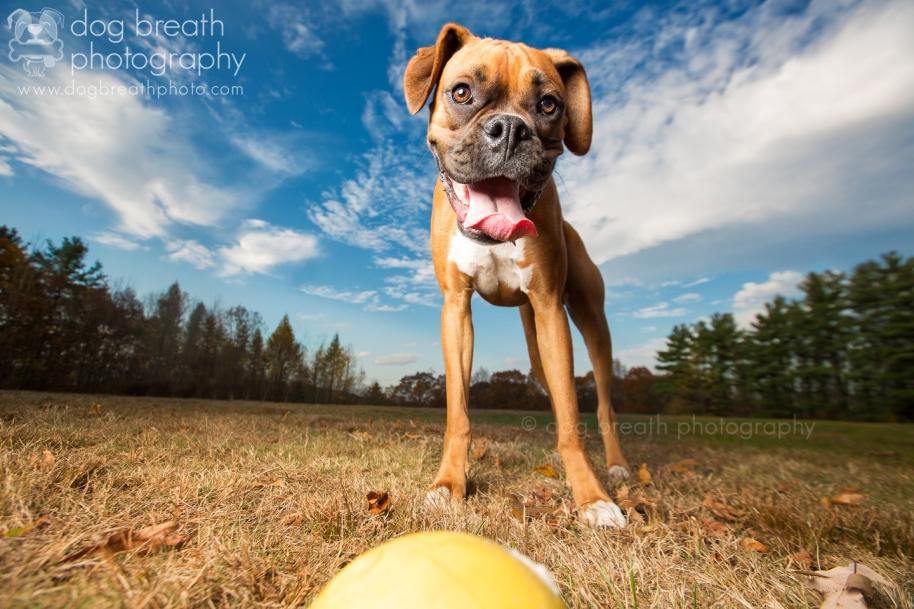 boston_dog_photography
