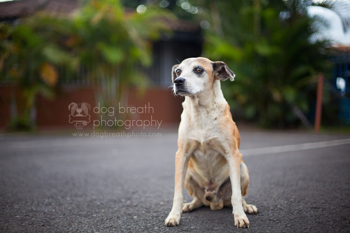 costa-rica-dogs