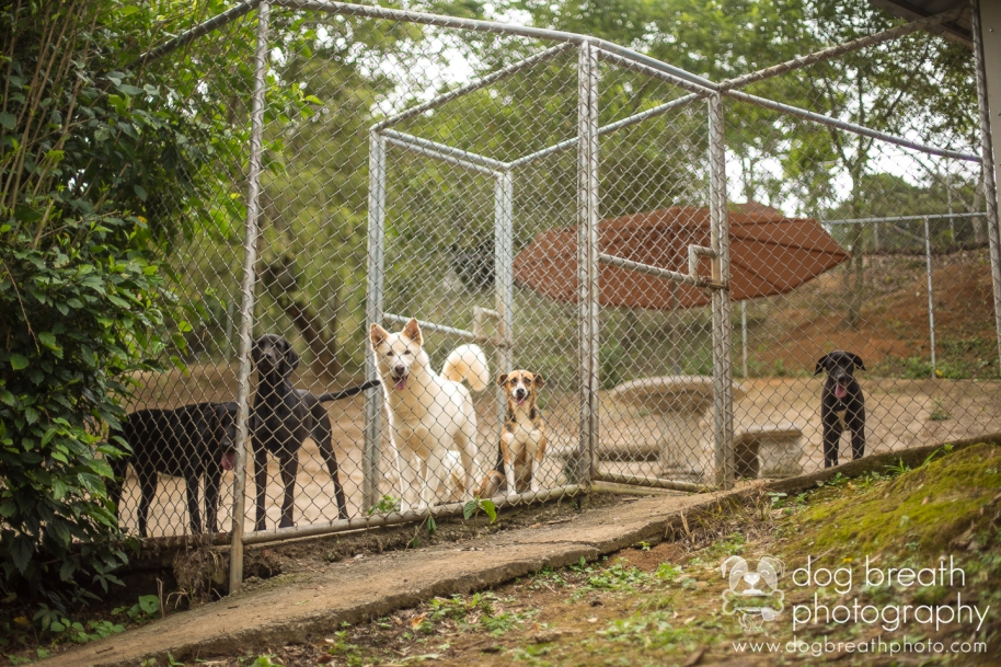 costa-rica-rescue-dogs